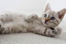 White tabby kitten