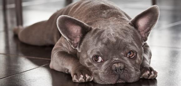 Grey French Bulldog
