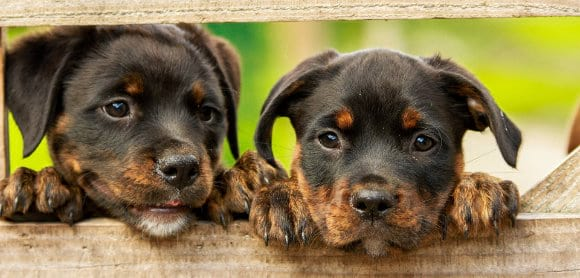 Tan and black puppies